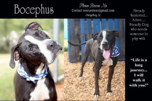 Bocephus @ Orangeburg Animal Shelter