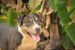 Pee Wee Pitbull with Soi Dogs