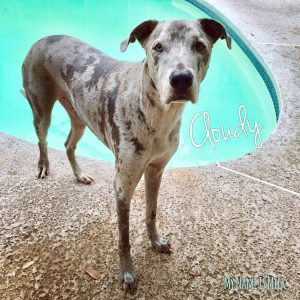 Cloudy great dane
